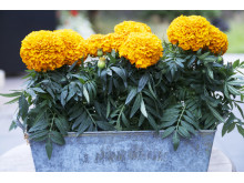 Stor tagetes, orange 2