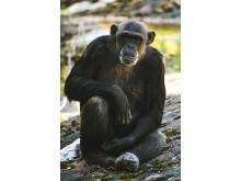 Schimpansen Linda
