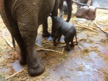 Ytterligare en elefantkalv i Borås Djurpark