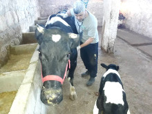 WTG-Syrien-Behandlung-Kuh-1