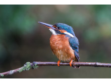 SonyNatureKingfisher