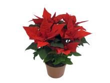 Lucka nr 10 - Tulpanblommande Julstjärna i en Blomstrande Julkalender