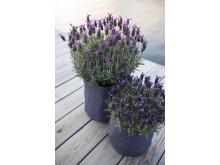 Lavendel i grow-in selvvanningspotte