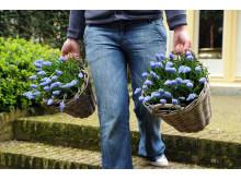 Blå pärlhyacint, Muscari armeniacum