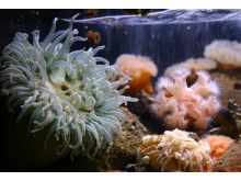 Havsanemoner på Havets Hus
