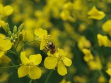 Bijobb i raps 2 pollinering