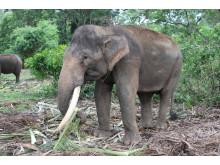 Elephant with palm leaves ©CIWF