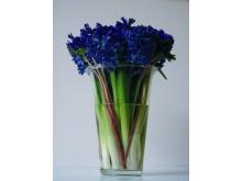 Hyacint som snitt