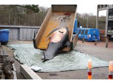 Grindehvalen ankommer til Fiskeri- og Søfartsmuseet