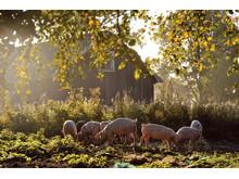 Glade dyr fra Grøstadgris