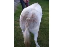 Sommareksem på häst