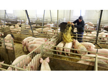 Svenska grisar får strö