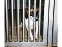 Beagel i djurförsökslab