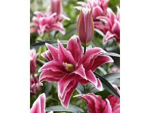Dubbelblommande lilja Roselily® 'Tatjana'
