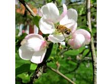 bin pollinerar äppelblomma