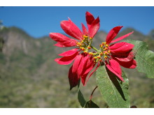 Wild poinsettias - Mark E Olson Wild Poinsettias 2
