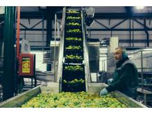 citrus_fruit_processing_man_checking