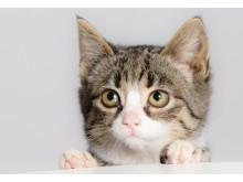 Kattunge vid bordskant