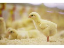 gul kyckling