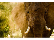 Elefant i Samburu, Kenya