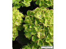 Hortensia Rembrandt® 'Vibrant Verde'