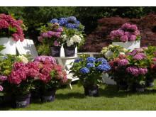 Forever&Ever trädgårdshortensia vinner pris