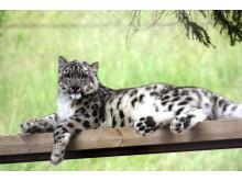 Snöleopard i Orsa Rovdjurspark