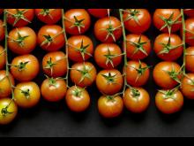 tomat_på gren.jpg