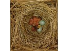 Flycatcher nestlings