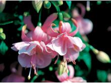'Pink Galore'