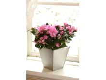 En dubbelblommande rosa azalea.