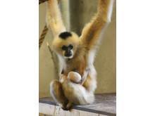 Utrotningshotad vitkindad gibbon född på Parken Zoo Eskilstuna