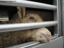 Djurtransport mellan Ungern och Turkiet, maj 2011