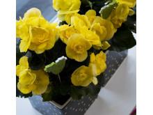 Begonia påsk