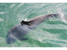 Schweinswal vor Sylt
