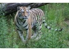 Tigrar ute för första gången 080625 - 2