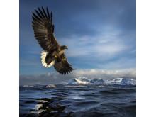 Eagle on hunt (C) Audun Rikardsen
