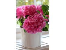 Rosa hortensia i fönstret