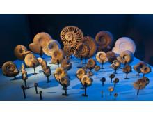 Fossil och evolution - ammoniter från jura