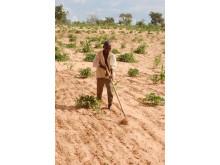 Jordbruk i Sahel