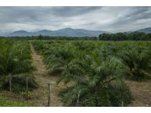 Palmeolieplantage