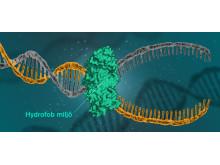 DNA-molekyl öppnas i hydrofob miljö