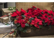 2018_poinsettia_0100_Christmas_Tales_22