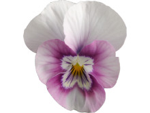 Viola (Tricolor-Gruppen) SORBET-SERIEN 'Pink Halo'
