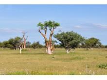 Moringaträdet växer snabbt, 3-4 meter första året