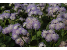 Ageratum houstonianum 'Butterfly Bicolor'