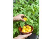 Kruktomat 'Tigerette Cherry' Ekologiskt frö