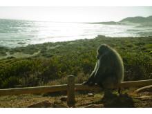 Babianhanne solar vid Cape Point