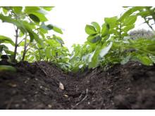 Potatisland, potatisplantor