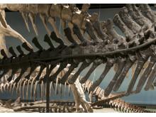 Fossil och evolution - blandade skelett
